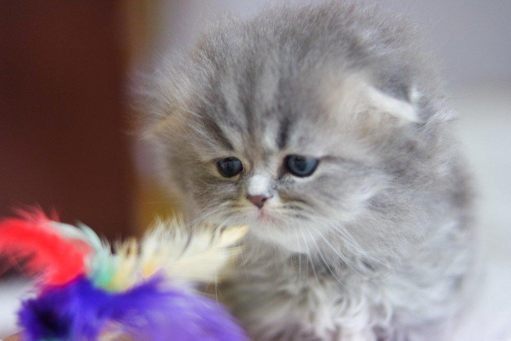 Cat Highland Fold Midori Chatterie Nekobaa