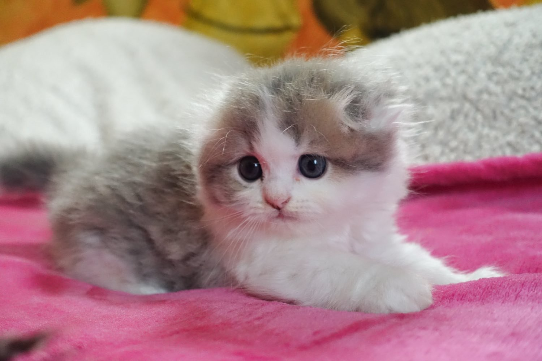 Cat Highland Fold Baku Chatterie Nekobaa
