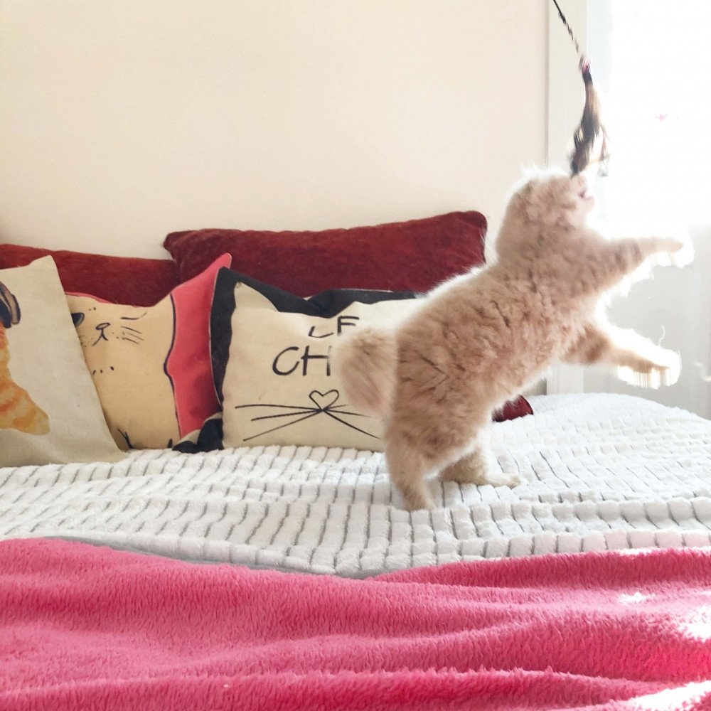 Cat Highland Fold Choji Chatterie Nekobaa
