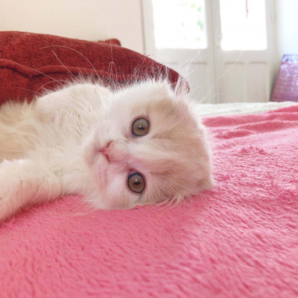 Cat Highland Fold Chiriku Chatterie Nekobaa