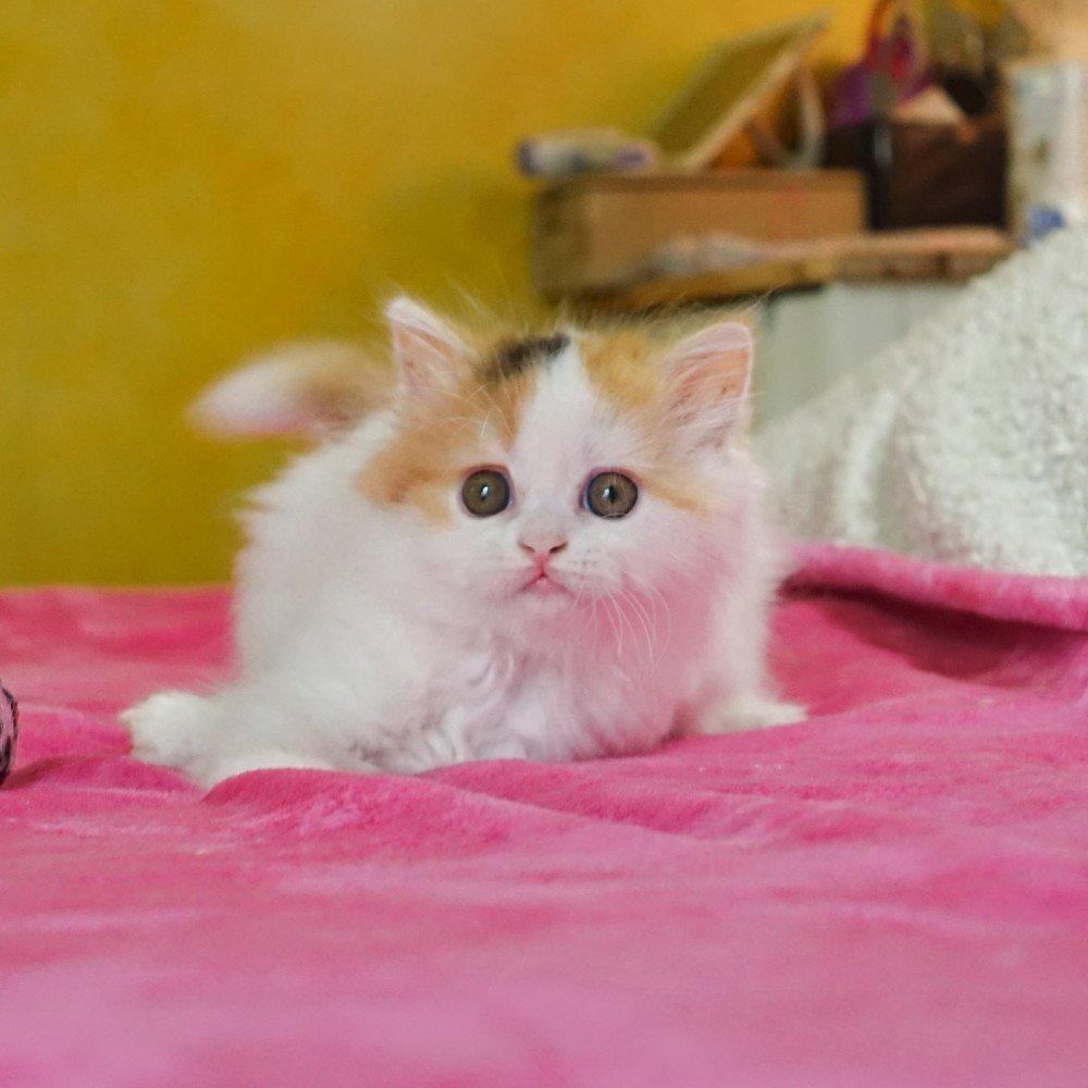 Cat Highland Straight Ami Chatterie Nekobaa