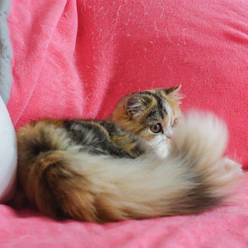 Cat Highland Straight Chihiro Chatterie Nekobaa