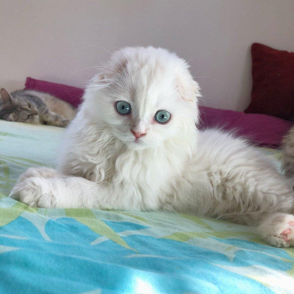 Cat Highland Straight Chifumi Chatterie Nekobaa