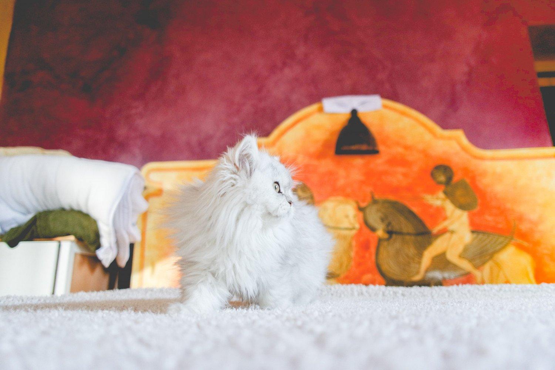 Cat Highland Straight Masako Chatterie Nekobaa