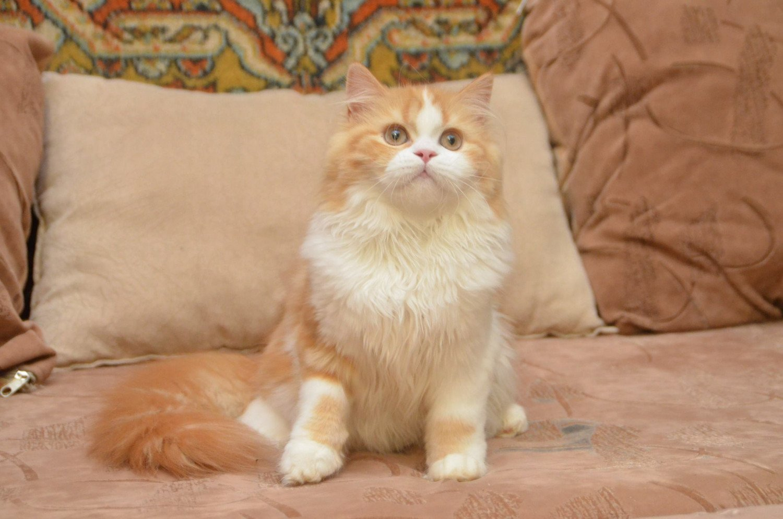 Cat Highland Straight Mikasa Chatterie Nekobaa