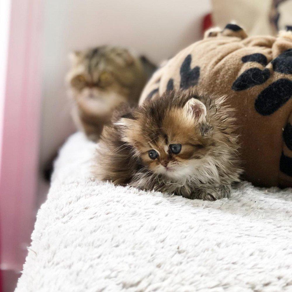 Cat Highland Straight Daisuki Chatterie Nekobaa