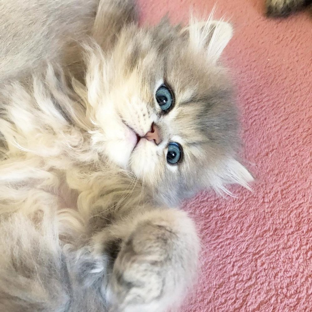 Cat Highland Straight Densetsu Chatterie Nekobaa
