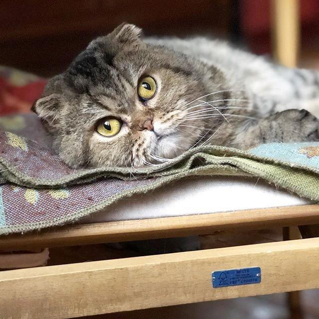 Cat Scottish Fold John Chatterie Nekobaa