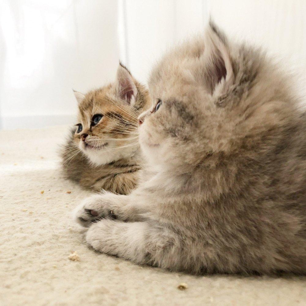 Cat Scottish Straight Daichi Chatterie Nekobaa