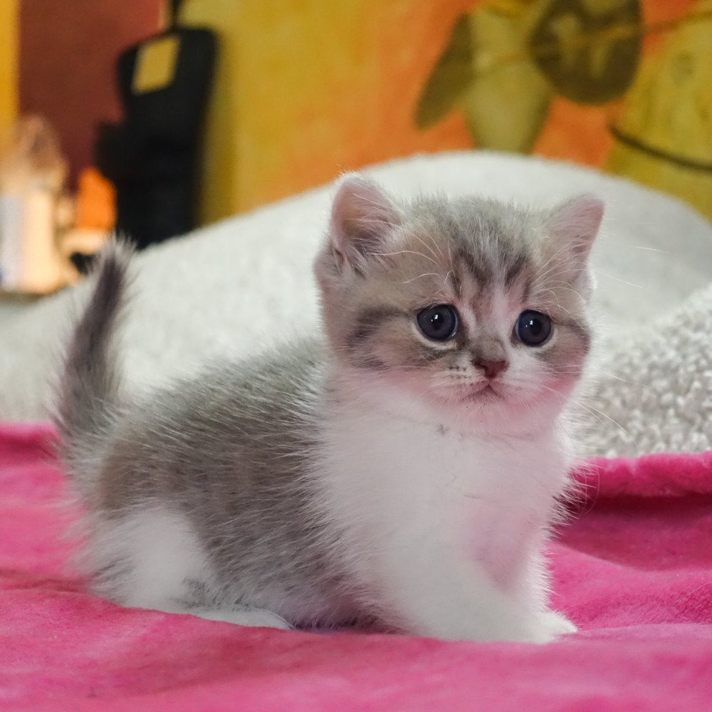 Cat Scottish Straight Benten Chatterie Nekobaa