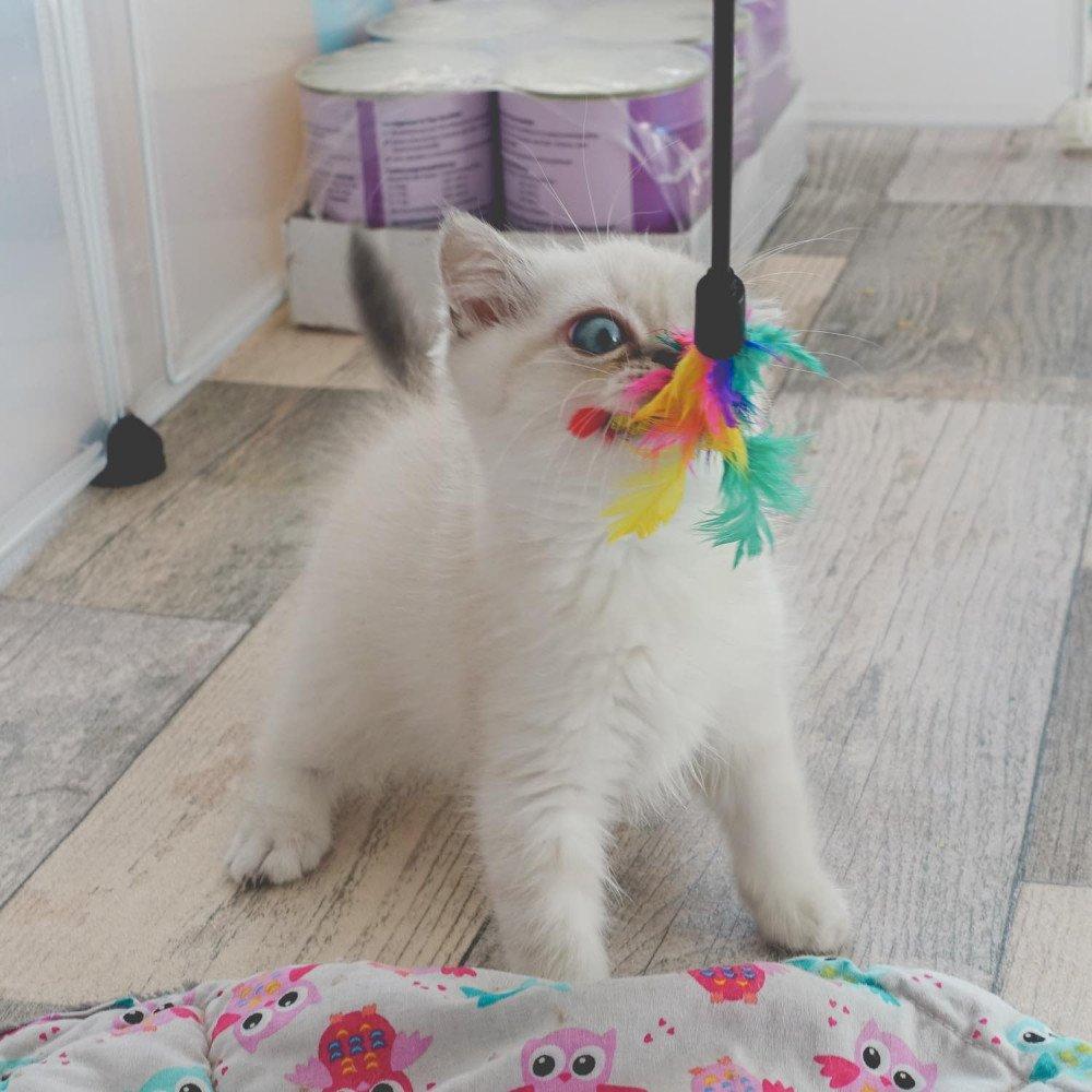 Cat Scottish Straight Eirin Chatterie Nekobaa