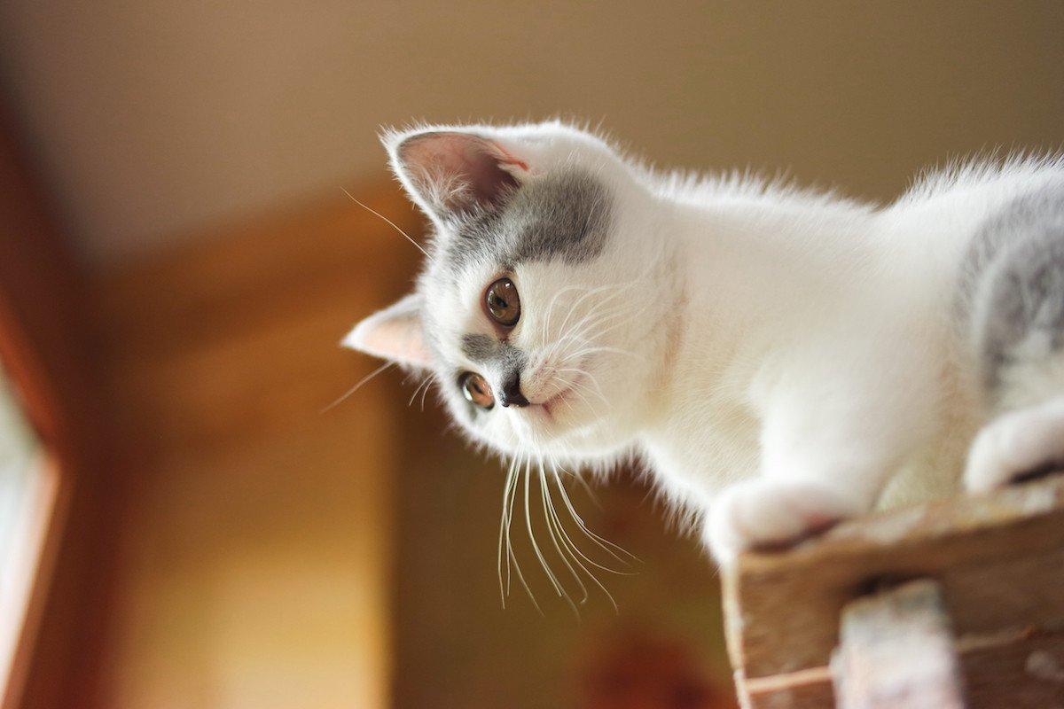 Cat Scottish Straight Megumi Chatterie Nekobaa