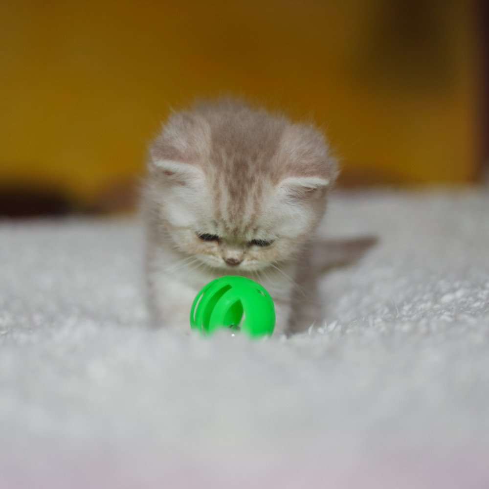 Cat Scottish Straight Moyashi Chatterie Nekobaa