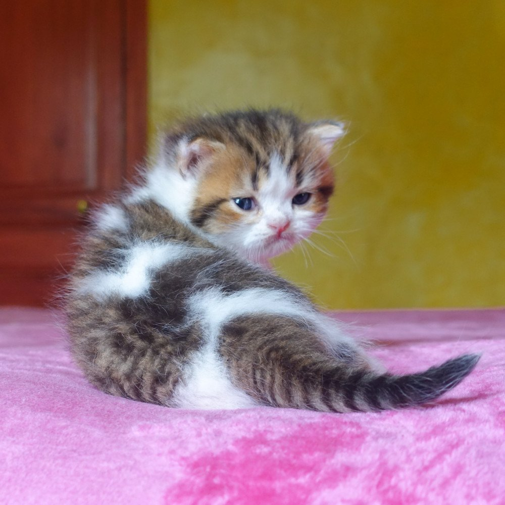 Cat Scottish Straight Buntaro Chatterie Nekobaa