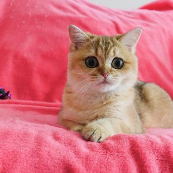 Cat British Shorthair Hinata Chatterie Nekobaa