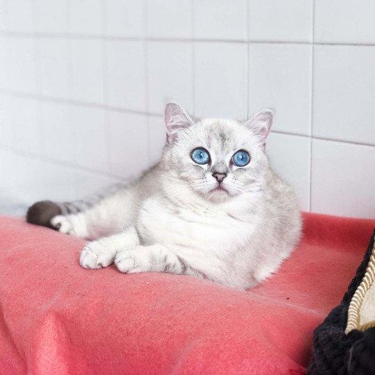 sakura-britishshorthair-colourpoint-1