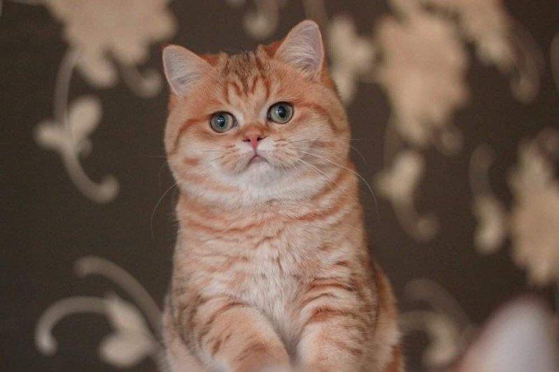 Kitten British Shorthair Xisobu Chatterie Nekobaa