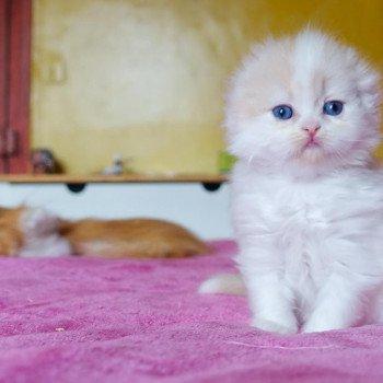 Cat Highland Fold Chishima Chatterie Nekobaa