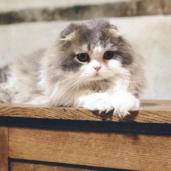 Cat Highland Fold Matatabi Chatterie Nekobaa