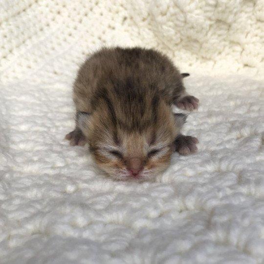Kitten Highland Straight Ginko Chatterie Nekobaa