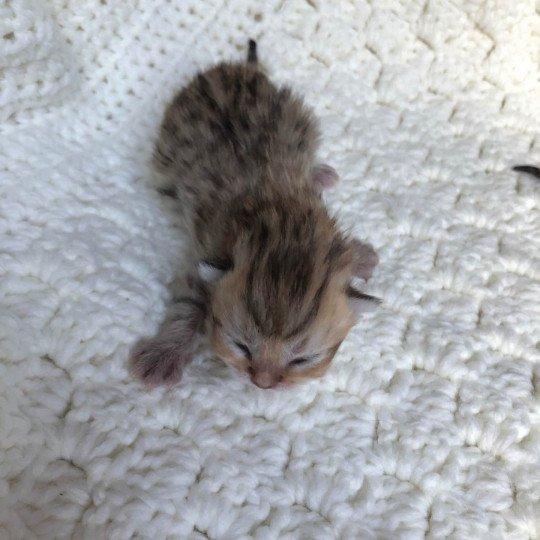 Kitten Highland Straight Gumako Chatterie Nekobaa