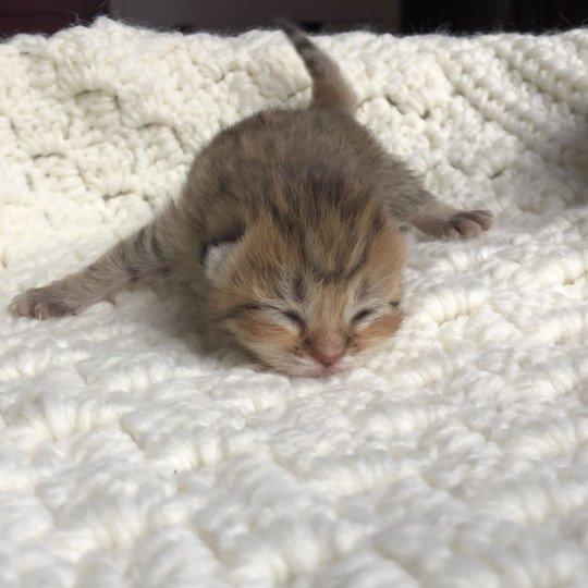 Kitten Highland Straight Gyokuyo Chatterie Nekobaa