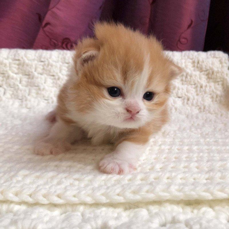 Kitten Highland Straight Hachi Chatterie Nekobaa