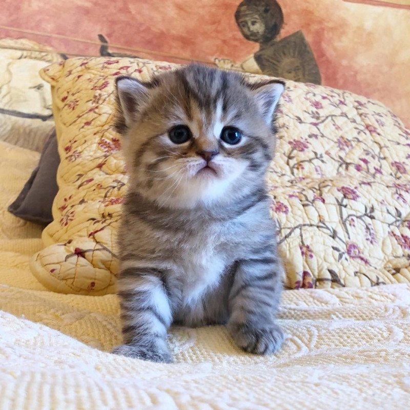 Kitten Highland Straight Hisana Chatterie Nekobaa