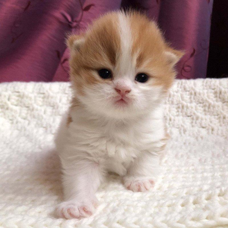 Kitten Highland Straight Hyôga Chatterie Nekobaa
