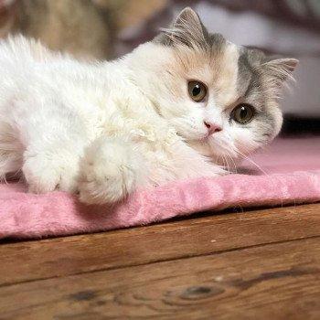 Cat Highland Straight Ayako Chatterie Nekobaa