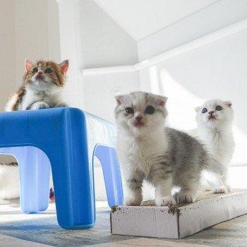 Cat Scottish Fold Enma Chatterie Nekobaa