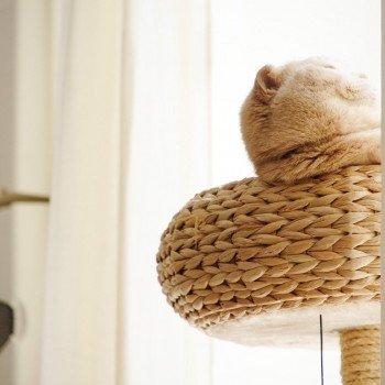 Cat Scottish Fold Holly Chatterie Nekobaa