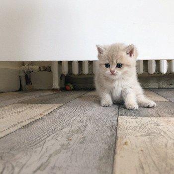 Cat Scottish Straight Dorami Chatterie Nekobaa