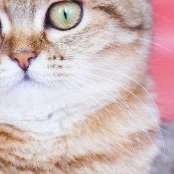 Cat Scottish Straight Jun Chatterie Nekobaa